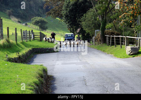 Sheep being driven along country lane in Somerset  England - Stock Photo