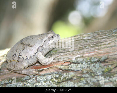 hyla versicolor or gray tree frog blends in on a cedar tree - Stock Photo