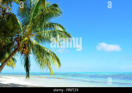 A coconut palm tree on a tropical white sand beach with a blue sea on Moorea, island of the Tahiti archipelago French - Stock Photo