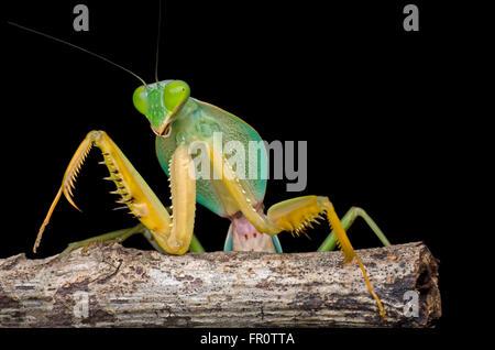 giant malaysian shield mantis - Stock Photo