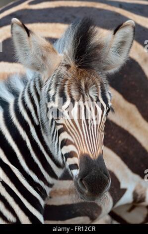 Burchell's zebra or Plains zebra (Equus quagga), foal, portrait, Kruger National Park, South Africa, Africa - Stock Photo