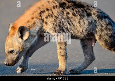 Spotted hyena or Laughing hyena (Crocuta crocuta) cub, sniffing the road, early morning,Kruger National Park,South - Stock Photo