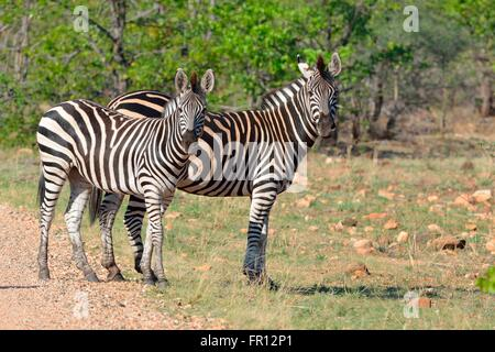 Burchell's zebras or Plains zebras (Equus quagga), standing on the edge of a gravel road, Kruger National Park, - Stock Photo