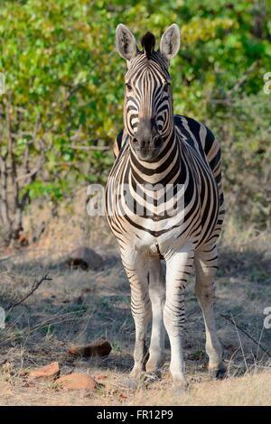 Burchell's zebra or Plains zebra (Equus quagga), portrait, Kruger National Park, South Africa, Africa - Stock Photo