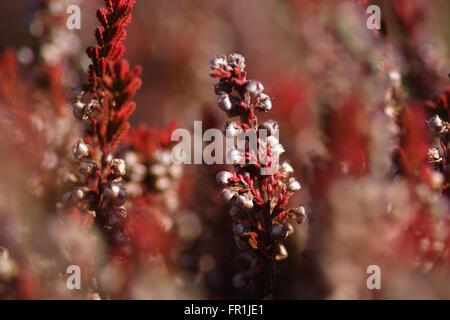 red heather - Erica