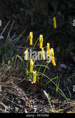Narcissus cyclamineus, growing near a stream, Asturias, Spain. - Stock Photo