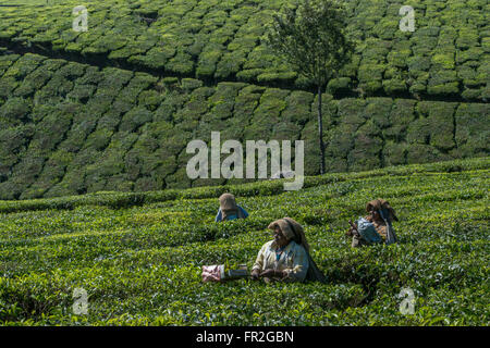 Tea Estate Female Workers Picking Tea, Western Ghats - Stock Photo