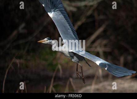 Heron in flight - Stock Photo