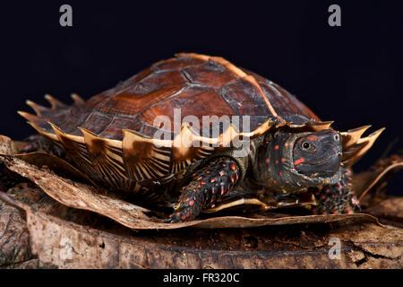 Spiny turtle (Heosemys spinosa) - Stock Photo