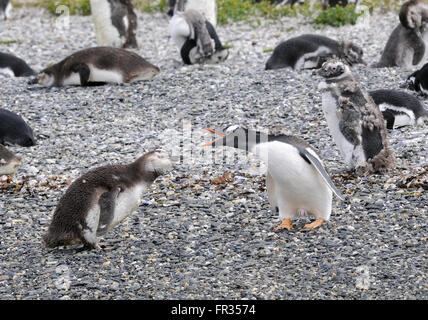 An adult Gentoo Pegnguin (Pygoscelis papua) appears to be reprimanding a young Magellanic Penguin (Spheniscus magellanicus) - Stock Photo
