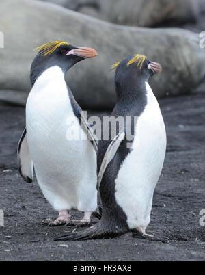 Macaroni penguins (Eudyptes chrysolophus) stand on black volcanic sand. Saunders Island, South Sandwich Islands. - Stock Photo