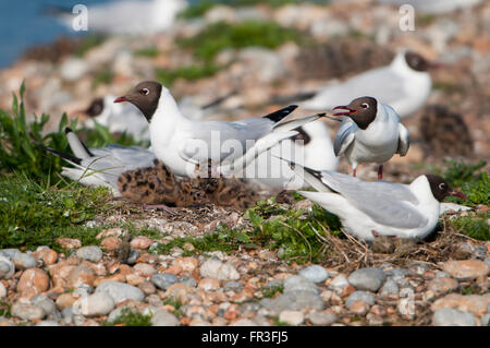 A family of Black Headed Gulls (Chroicocephalus ridibundus) with chicks at breeding colony, Rye Harbour Nature reserve - Stock Photo