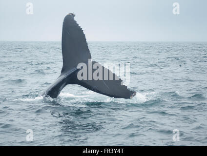 humpback whale tail diving into ocean - Stock Photo