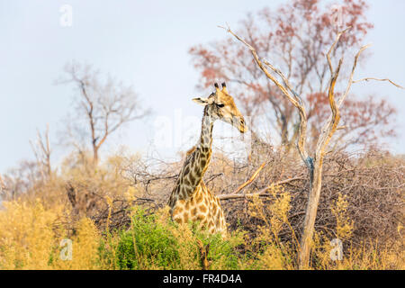 Southern giraffe (Giraffa camelopardalis) standing in woodland, Sandibe Camp, adjacent to the Moremi Game Reserve, - Stock Photo