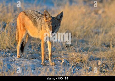 Black-backed jackal (Canis mesomelas), standing in the morning light, Etosha National Park, Namibia, Africa - Stock Photo