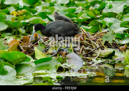 Coots Fulica Atra protecting their chicks from an eel - Stock Photo