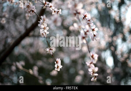 Beijing, China. 21st Mar, 2016. Photo taken on March 21, 2016 shows cherry blossom at Yuyuantan Park in Beijing, - Stock Photo