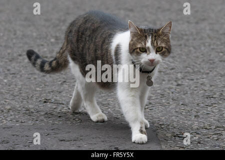 Downing Street, London, March 21st 2016. Larry the Downing Street cat outside 10 Downing Street in London as Prime - Stock Photo