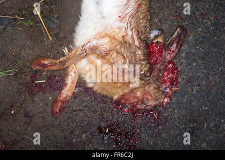 Roadkill, Hare, Tetbury to Wotton road, Cotrswolds. - Stock Photo