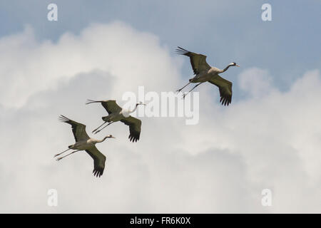 common crane (Grus grus) at Thol Bird Sanctuary, Mehsana, Gujarat, India - Stock Photo