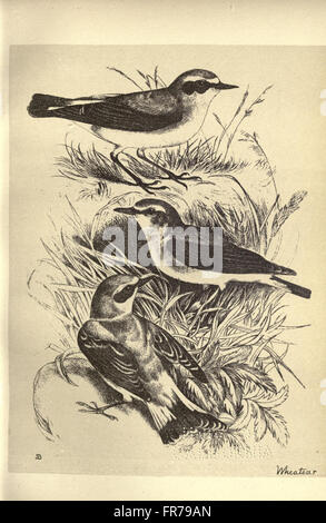 Birds from Moidart and elsewhere (Plate 28) - Stock Photo
