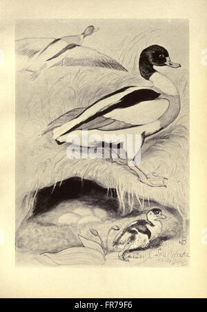 Birds from Moidart and elsewhere (Plate 71) Stock Photo