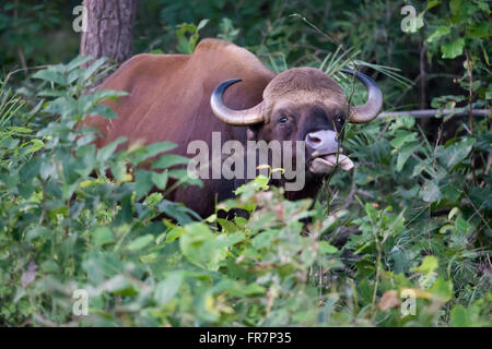 Gaur also called Indian Bison in Kanha National Park of India. Scientifical name Bos Gaurus - Stock Photo