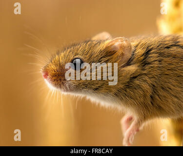 A close-up macro shot of a very small harvest mouse taken at a wildlife statuary. They are tiny fast moving adorable - Stock Photo