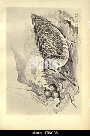 Birds from Moidart and elsewhere (Plate 62) - Stock Photo