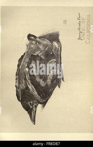 Birds from Moidart and elsewhere (Plate 45) - Stock Photo
