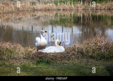 Mute swans nesting, Kennet & Avon Canal, Devizes - Stock Photo