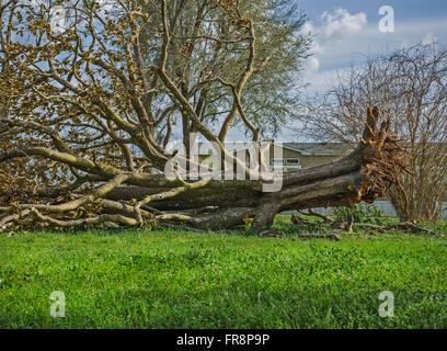 Huge tree toppled over in yard of a rural home. - Stock Photo