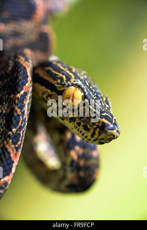 Snake coiled on the branch at the National Park Viruá - Stock Photo