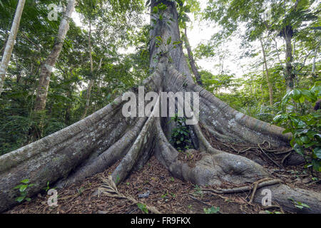 Buttress or machetes - tabular roots of a kapok in Jau National Park - Stock Photo
