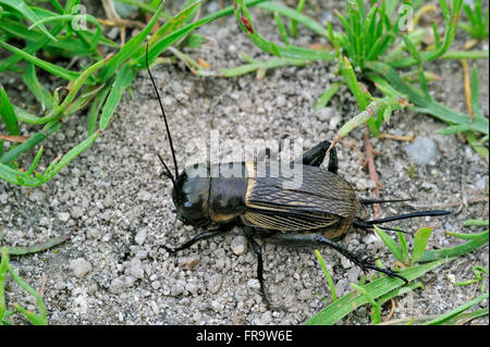 Field cricket (Gryllus campestris) female showing ovipositor for laying eggs - Stock Photo
