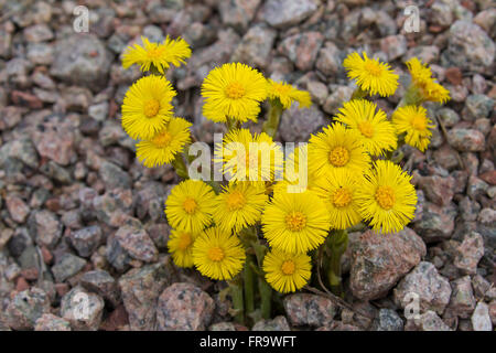 Coltsfoot (Tussilago farfara / Farfara radiata ) in flower in rocky terrain - Stock Photo