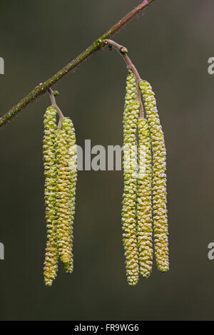 Common hazel (Corylus avellana) close up of male catkins - Stock Photo