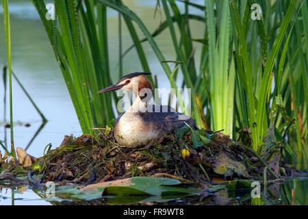 Great crested grebe (Podiceps cristatus) sitting on nest among aquatic plants in lake - Stock Photo