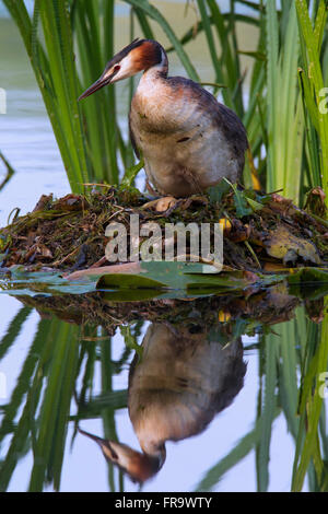 Great crested grebe (Podiceps cristatus) sitting on nest among aquatic plants in lake - Stock Photo