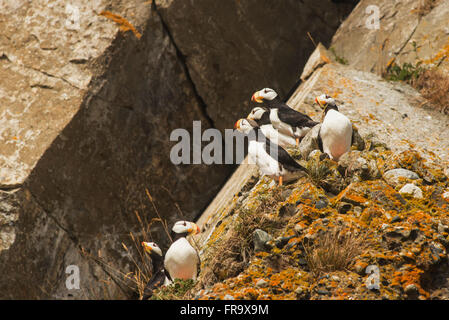 A group of horned puffins rest on a rock on Chisik Island in the Tuxedni Wilderness Area, Alaska. - Stock Photo