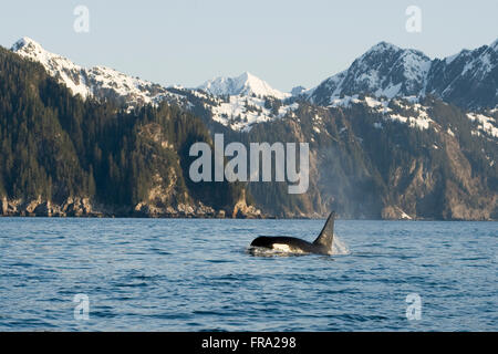 killer whale, or orcas, Orcinus orca, large bull swimming in Resurrection Bay, Kenai Fjords National Park, outside - Stock Photo