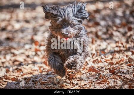 Black dog running and jumping across barren leaves in the forest - Stock Photo