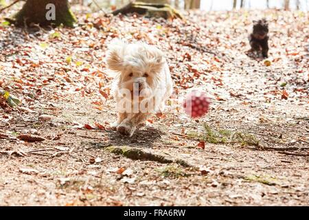 White havanese dog running and jumping in the forest in spring - Stock Photo