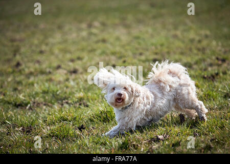 Havanese dog running and jumping across the meadows in spring - Stock Photo
