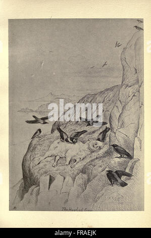Birds from Moidart and elsewhere (Plate 46) - Stock Photo