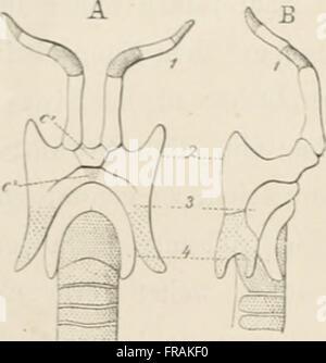 Die Epiglottis; vergleichend-anatomische Studie, mit 2 Tafeln und 15 Abbildungen im Texte (1892) - Stock Photo