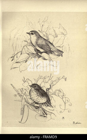 Birds from Moidart and elsewhere (Plate 24) - Stock Photo