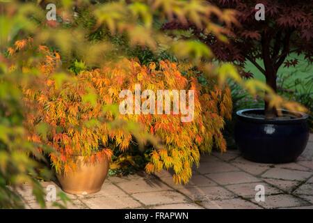 Japanese maples Acer palmatum dissectum autumn colour on terracotta patio - Stock Photo