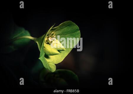 Flowers bright green. (Euphorbia amygdaloides). Wood spurge, Spain, Europe. - Stock Photo