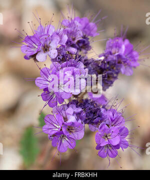 A notch-leaved phacelia (Phacelia crenulata) during the 2016 Super Bloom in Death Valley National Park. - Stock Photo